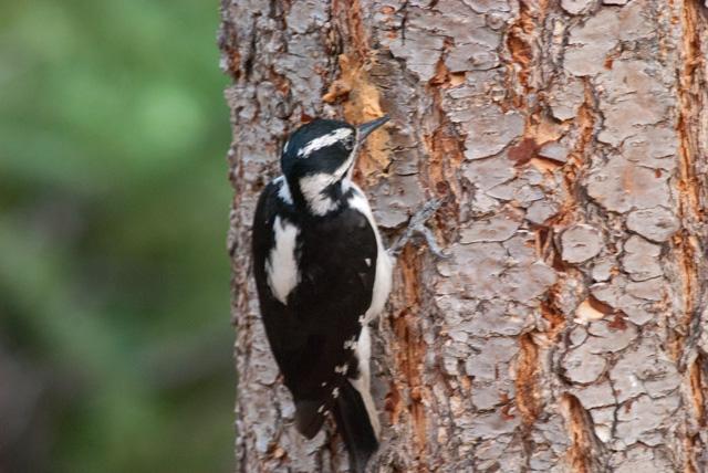 Hairy Woodpecker, Riverside, CO