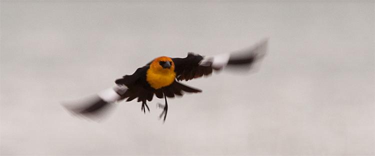 Yellow-Headed Blackbird, Lake McIntosh, Longmont, CO