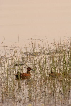 Cinnamon Teals, Lake McIntosh, Longmont, CO