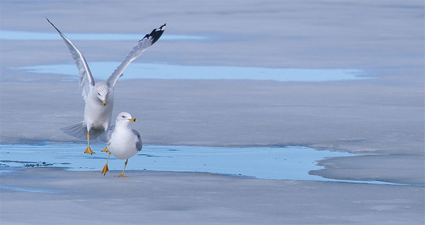 Ring-Billed Gulls, Lake McIntosh, Longmont, CO