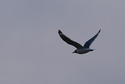 Franklin's Gull, Lake McIntosh, Longmont, CO