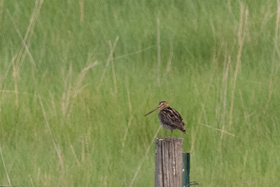 Wilson's Snipe, Lake McIntosh, Longmont, CO