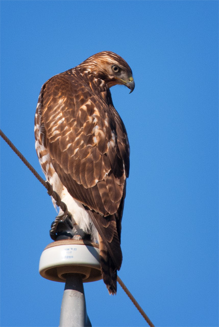 Rough-Legged Hawk, Hygiene, CO