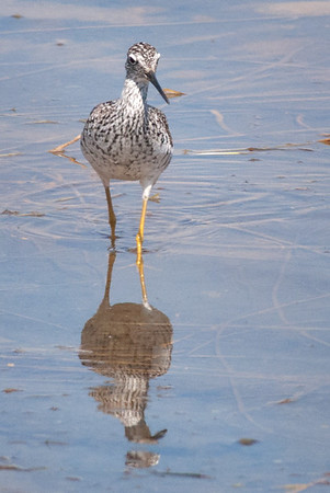 Greater Yellowlegs, Walden Ponds, CO