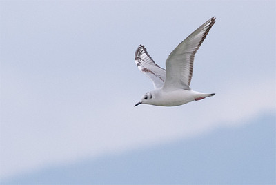 Bonaparte's Gull in first winter plumage, Lake McIntosh, Longmont, CO