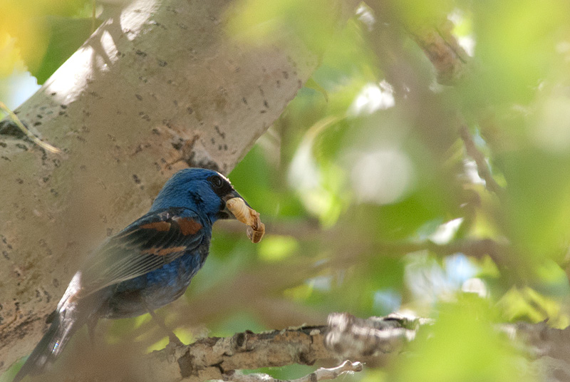 Blue Grosbeak and larval dinner, Pella Crossing, Hygiene, CO