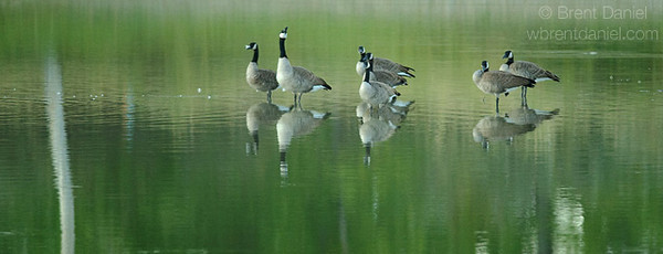 Canada Geese, Lake McIntosh, Longmont, CO