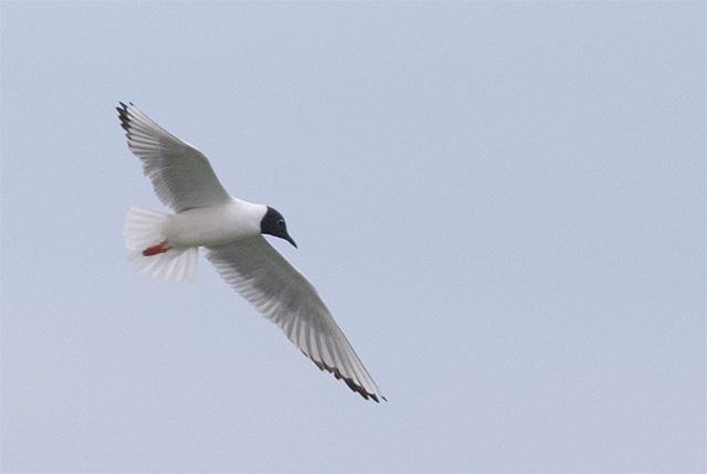 Bonaparte's Gull, Lake McIntosh, Longmont, CO