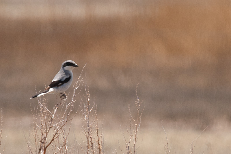 Loggerhead Shrike (known for impaling its prey on thorns and barbed-wire), Lake McIntosh, CO