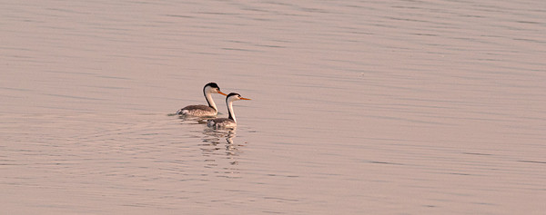 Clark's Grebes, Lake McIntosh, Longmont, CO