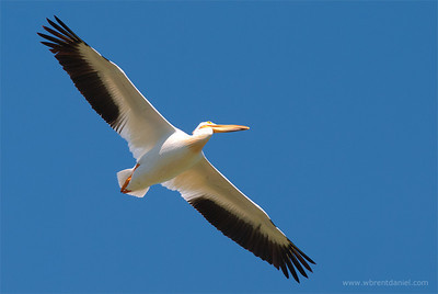 American White Pelican, Lake McIntosh, Longmont, CO