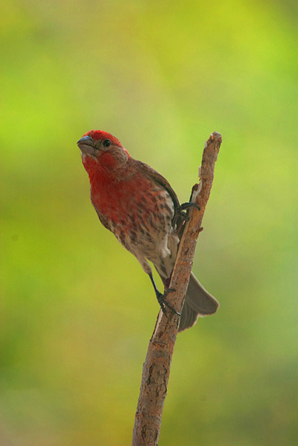 House Finch, Longmont, CO