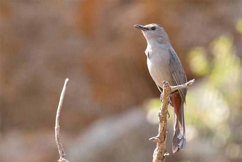 Gray Catbird, Button Rock, CO