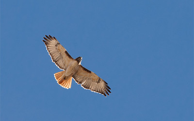 Red-Tailed Hawk, Lake McIntosh, CO