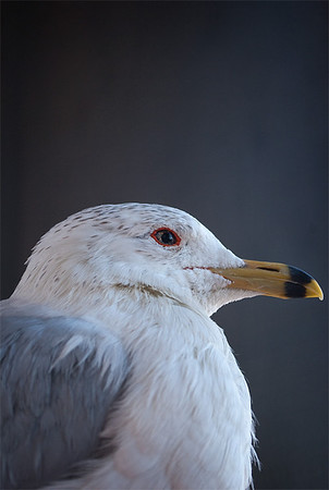 Ring-Billed Gull, Greenwood Wildlife Rehabilitation Center, Lyons, CO