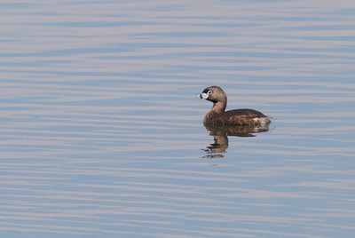 Pied-Billed Grebe, Hygiene, CO