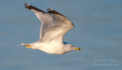 Ring-Billed Gull, Lake McIntosh, Longmont, CO
