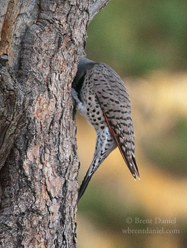 Northern Flicker with its head in a hole, Rabbit Mountain Open Space, CO