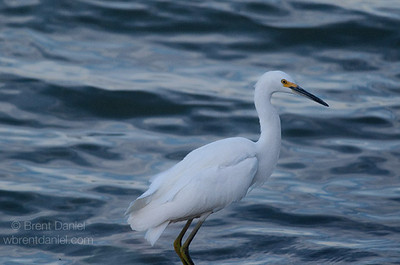Snowy Egret, Lake McIntosh