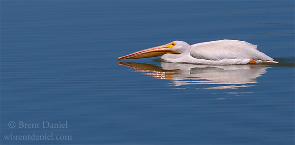 American White Pelican sneaking up on lunch, Lake McIntosh, Longmont, CO
