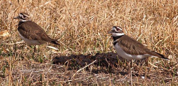 Killdeer, Pella Crossing, CO
