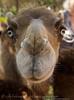 Camels_20150802  015