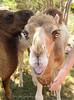 Camels_20150802  020