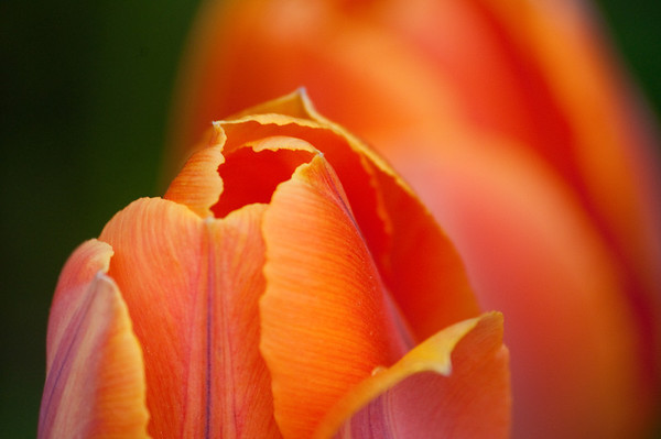 Orange tulip (can you tell I love orange?)