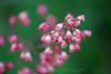 Pink foxglove (?)
