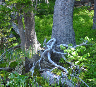Roots and greenery beside pond (near Jasper Lake).