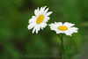 I've been trying to find some daisies to take photos of & FINALLY saw some at the MN Zoo.  If anyone has daisies in their garden, I'd love to come over to photograph them!!