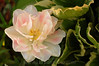 White/pink flower