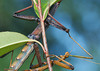 Walking Stick Mating_20120617  005