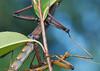 Walking Stick Mating_20120617  005