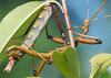 Walking Stick Mating_20120617  007