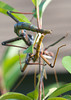 Walking Stick Mating_20120617  001