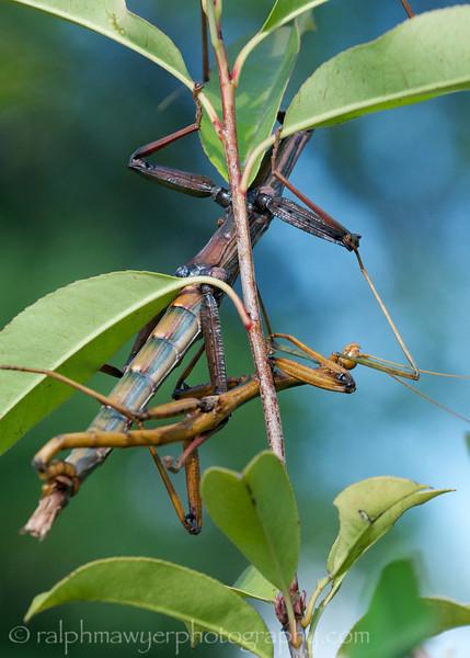 Walking Stick Mating_20120617  004