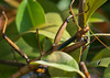 Walking Stick Mating_20120617  020