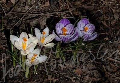 Spring Flowers-5742