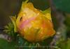 Cactus Flower  006