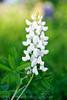 White Bluebonnet_20120402  005