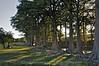 Cypress Trees  025
