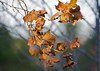 Fall Leaves_20091219  003
