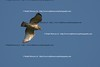 Smith Point Hawk Watch_2007  048