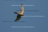 Smith Point Hawk Watch_2007  063