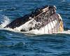 Whales_Humpback_2010910  040