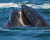 Whales_Humpback_2010910  044