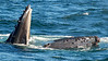Whales_Humpback_2010910  081