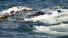 Whales_Humpback_2010910  010