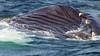 Whales_Humpback_2010910  007